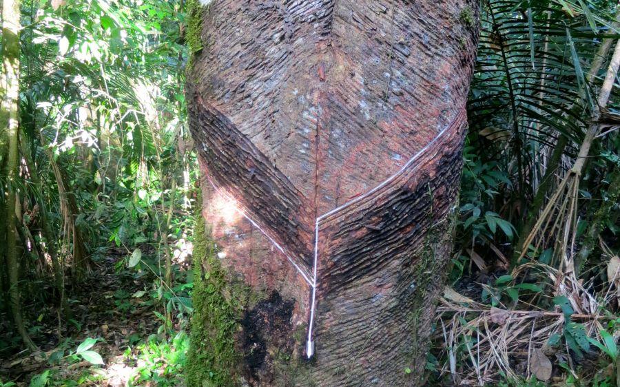 Foto: Tania Horquin, Extractie van een Seringueiro boom waar de Maguari natuurlijke latex van maken. Ieder jaar maken ze een nieuwe inkeping in de bast van de boom.
